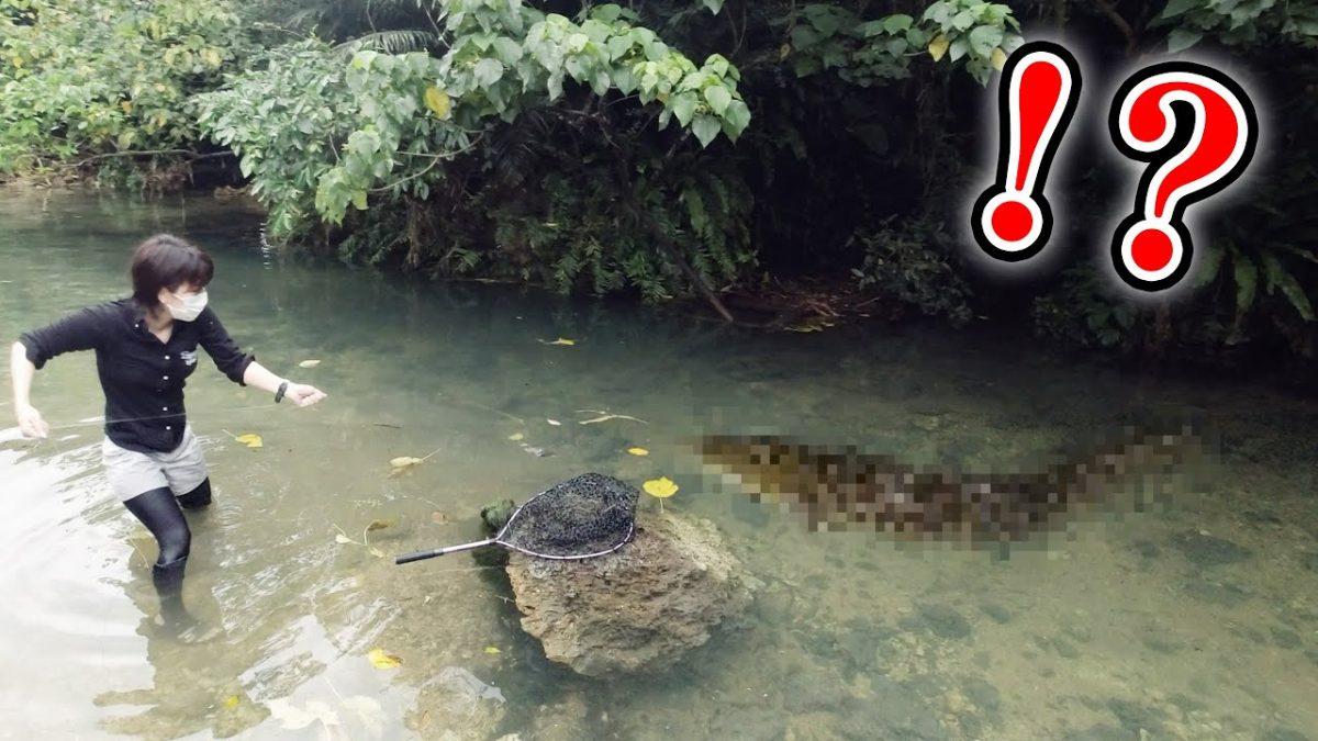 淡水のスーパーモンスターに挑む!沖縄県怪魚捕獲センター