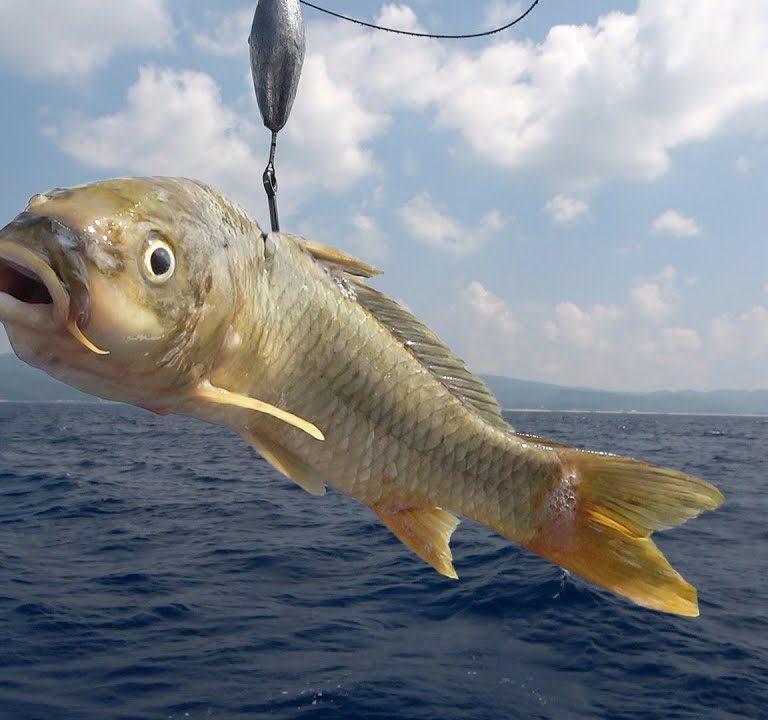 釣れた鯉を海で泳がせてみた結果がこちらです!