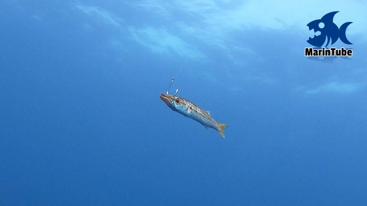 巨大魚が釣りたくてカマスを泳がせてみたときの衝撃的水中映像!