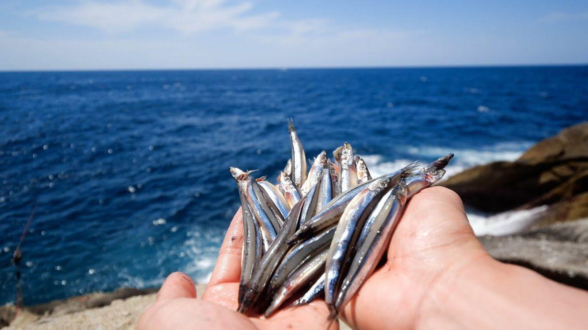 凄まじい激流の海岸にキビナゴ撒いたら巨大魚が!!