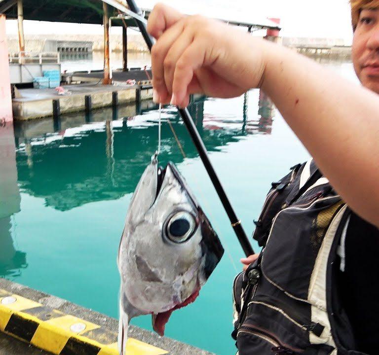 肉食魚が回遊する漁港でマグロの頭落としてみる