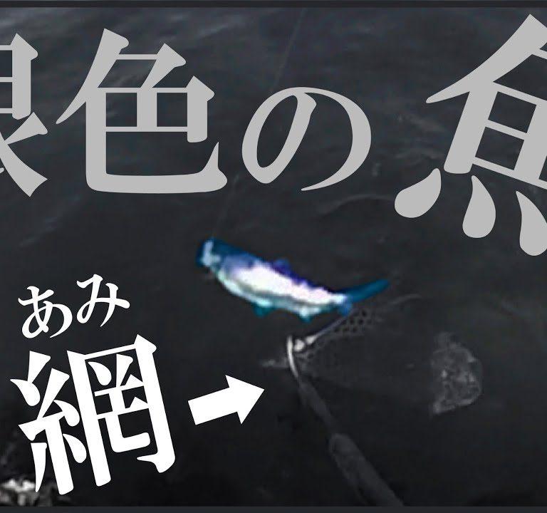 男のロマン!銀色に輝く北海道の海サクラマス釣り~ランディングまで