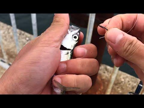 堤防から釣れた豆サバを泳がせると‥一発で大物釣れた。